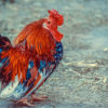Beautifull Fancy Hen For Sale
