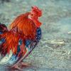 Beautifull Fancy Hen For Sale